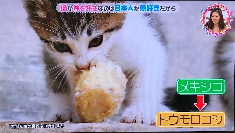 メキシコの猫 トウモロコシ