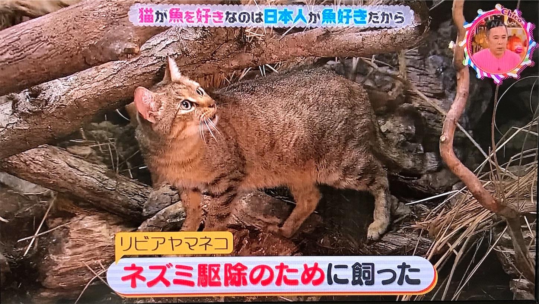 ネズミ駆除のためにリビアヤマネコを飼い慣らした