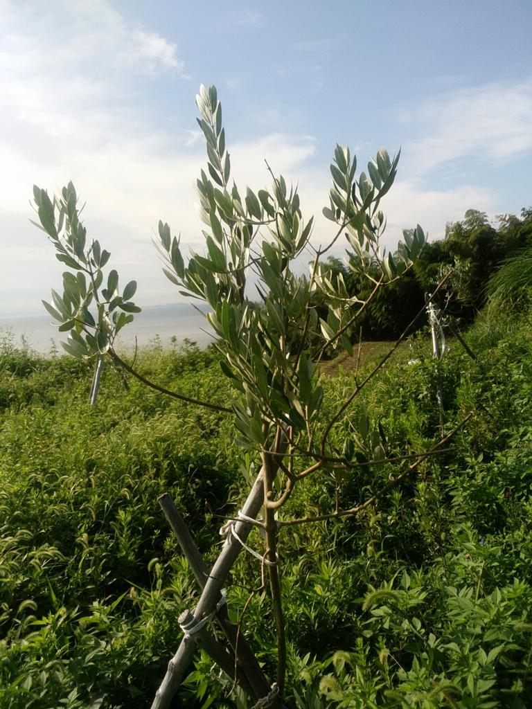 f:id:kitaawaji-olive:20160924161337j:plain