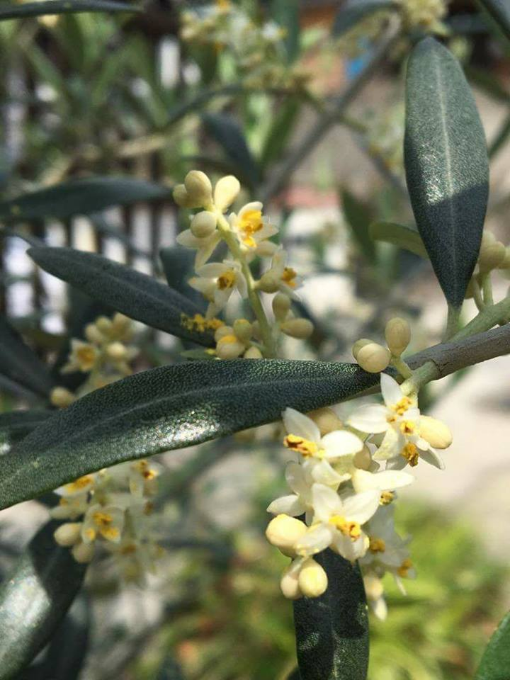 f:id:kitaawaji-olive:20170521180524j:plain