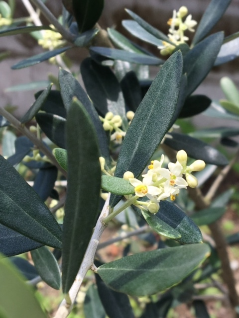 f:id:kitaawaji-olive:20180501112817j:plain