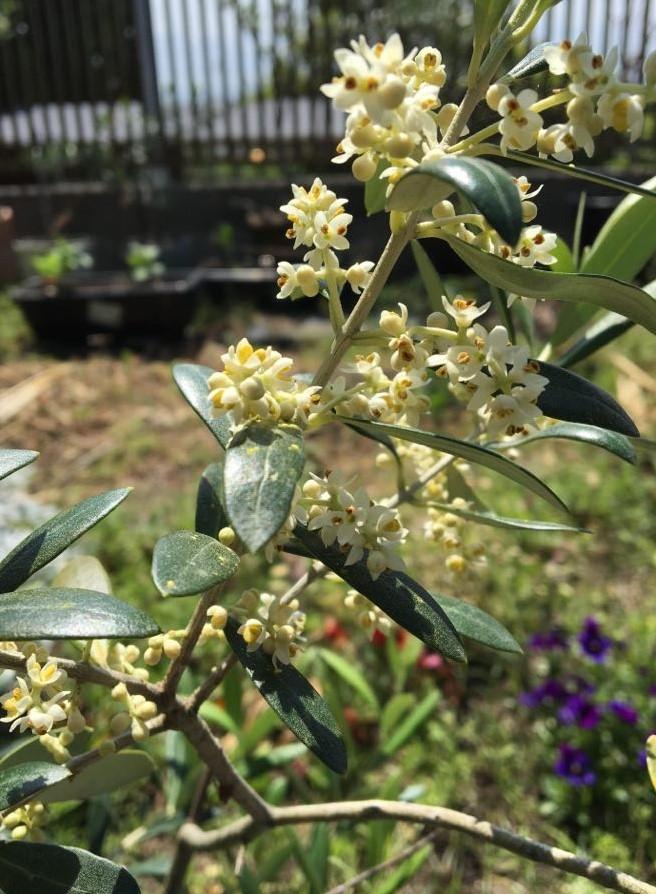 f:id:kitaawaji-olive:20200522120016j:plain