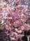 枝垂れ桜20120415