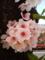 桜(日陰は見頃0415)