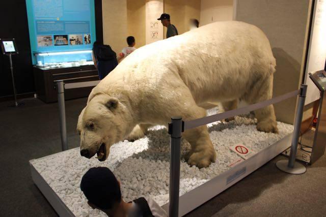 北海道大学総合博物館 しろくま