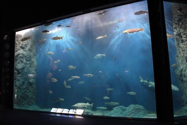 サケのふるさと千歳水族館 大水槽