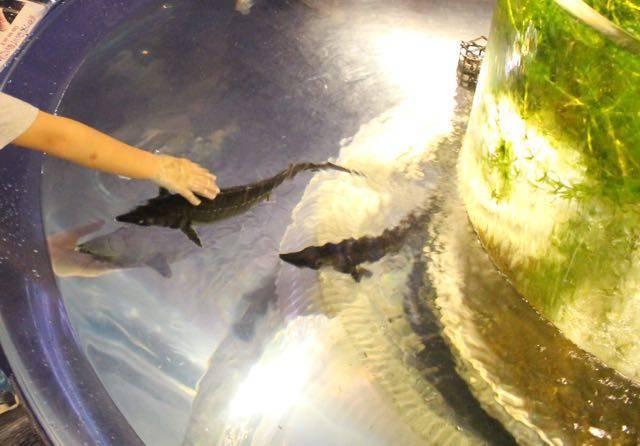 サケのふるさと千歳水族館 チョウザメ