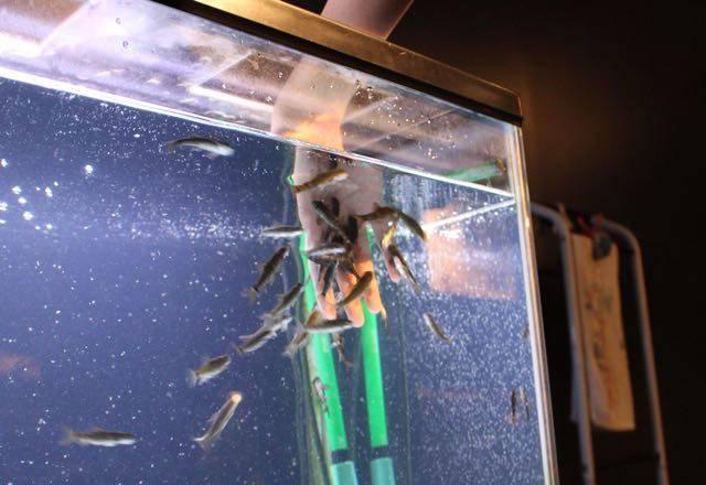 サケのふるさと千歳水族館 ドクターフィッシュ2