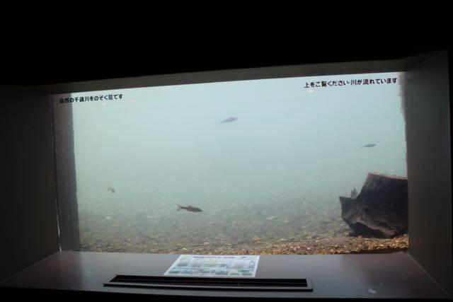 サケのふるさと千歳水族館 観察窓