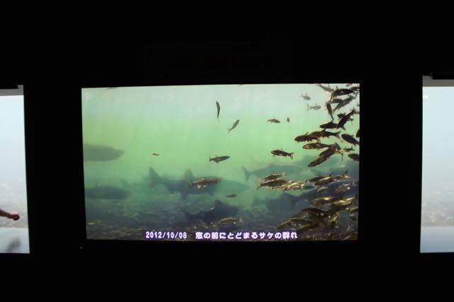 サケのふるさと千歳水族館 サケの観察
