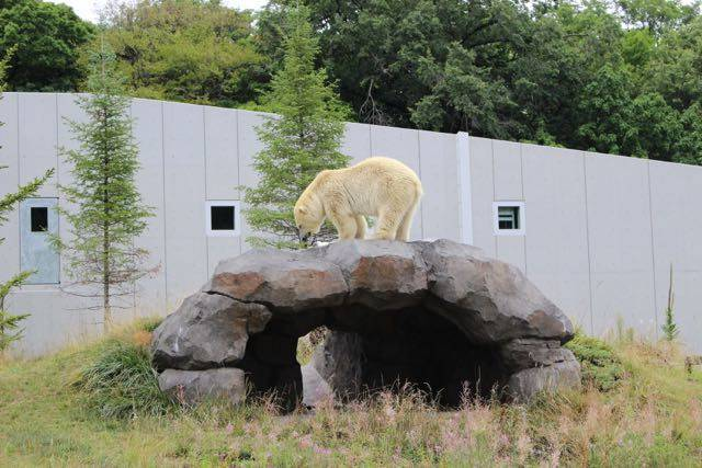 円山動物園 ホッキョクグマ 岩の上