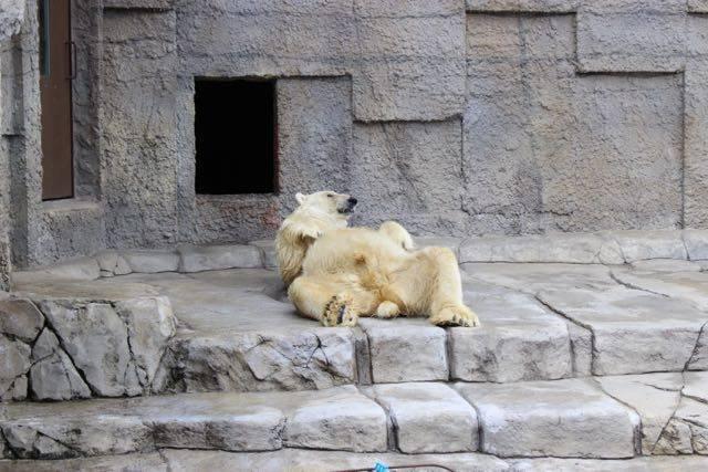 円山動物園 ホッキョクグマ 寝そべる