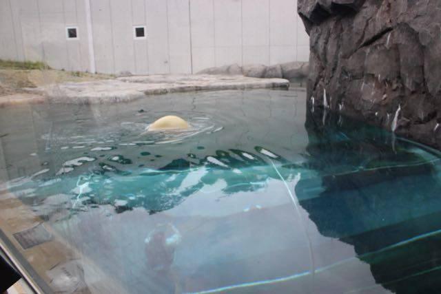 円山動物園 ホッキョクグマ 水中へ