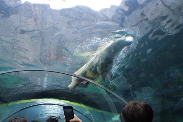 円山動物園 ホッキョクグマ 頭上