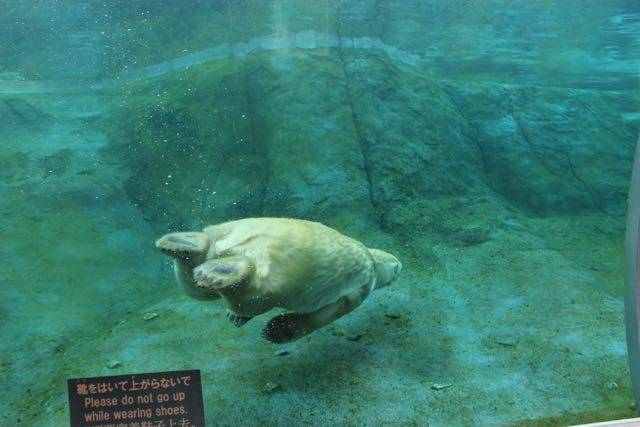 円山動物園 ホッキョクグマ 泳ぐ