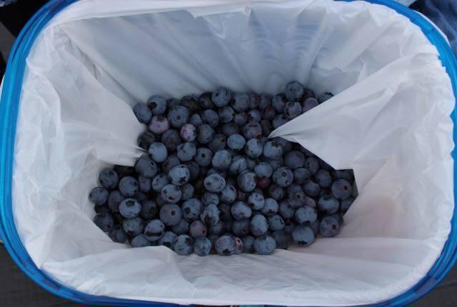 ブルーベリーさっぽろ 収穫