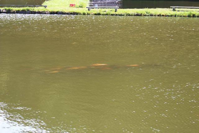 小林養鯉場 鯉の影