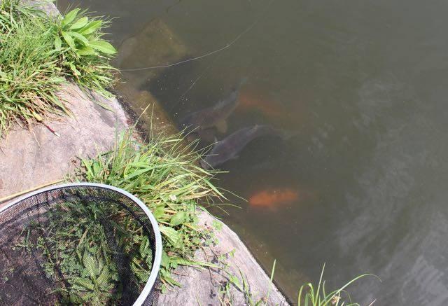 小林養鯉場 集まる鯉