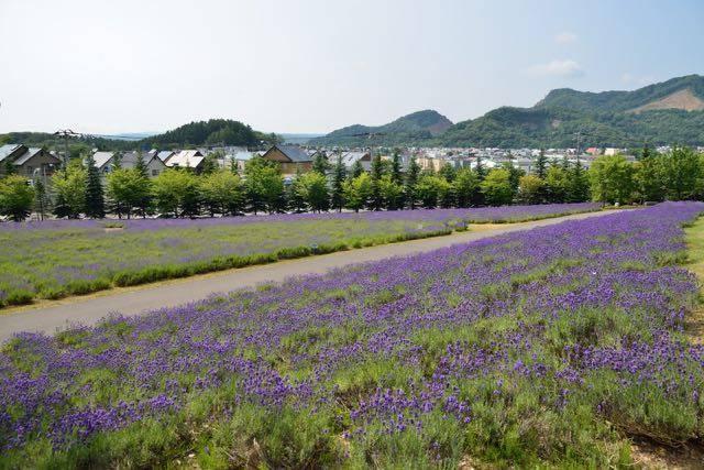東海大学札幌キャンパス ラベンダー