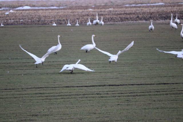 白鳥飛び立つ姿