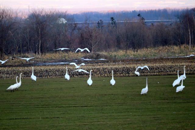 白鳥 清水町畑