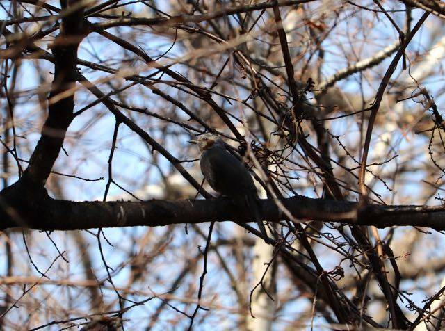 緑ヶ丘公園 野鳥