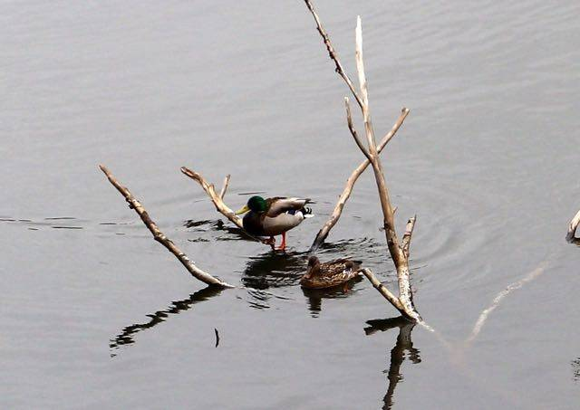 西岡公園 水鳥