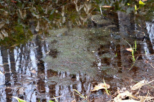 西岡公園 カエルの卵