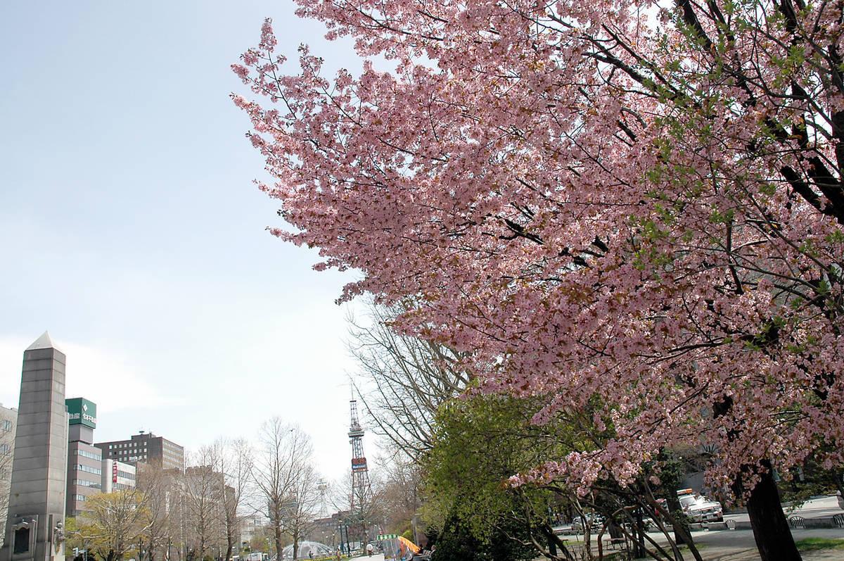 大通公園 桜