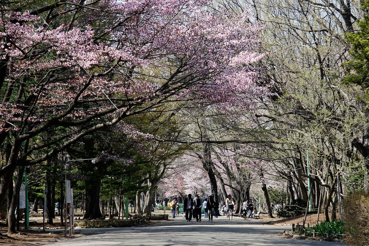 円山公園 桜