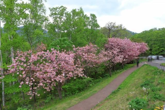 旭山記念公園 桜