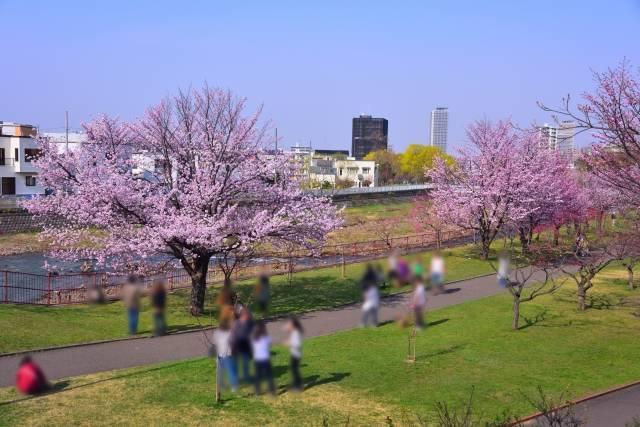 発寒河畔公園 桜