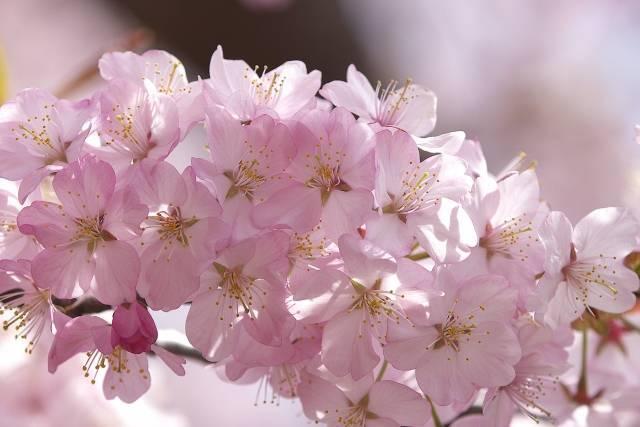 札幌 桜の名所