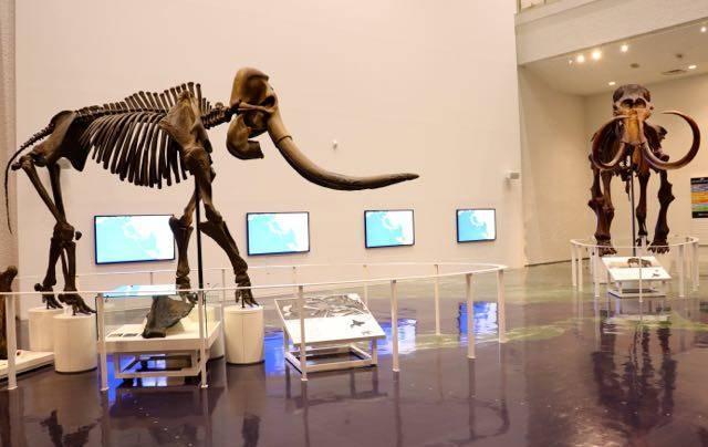 北海道博物館 総合展示 マンモス