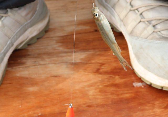 最初のヒット ワカサギ釣り