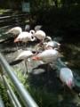 大宮公園小動物園 フラミンゴ