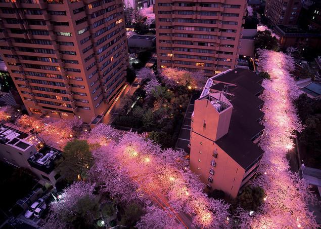 六本木のビルの中に咲く幻想的な夜桜
