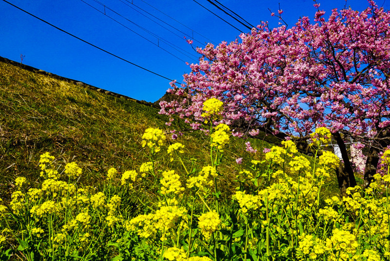 河津桜と菜の花と青空