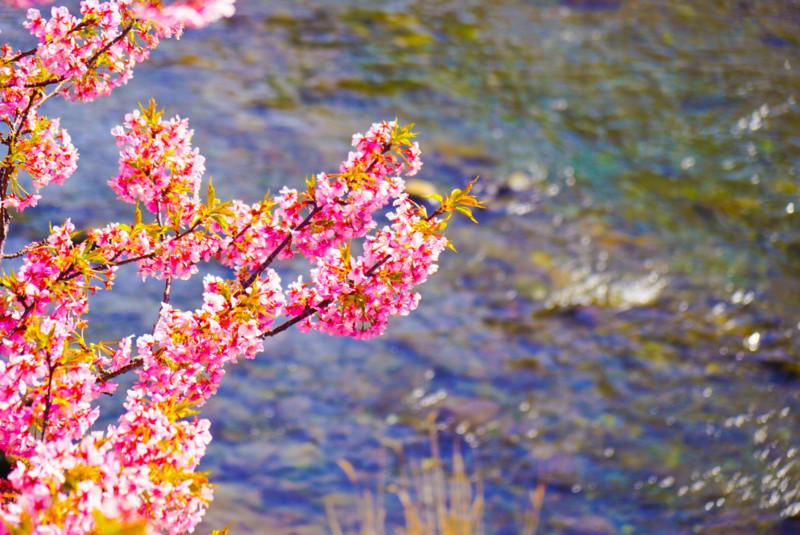 河津川と桜