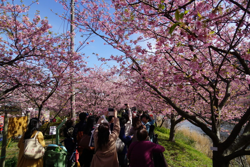 河津川沿いの桜並木