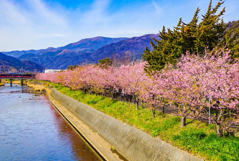 館橋から見た河津川と桜並木
