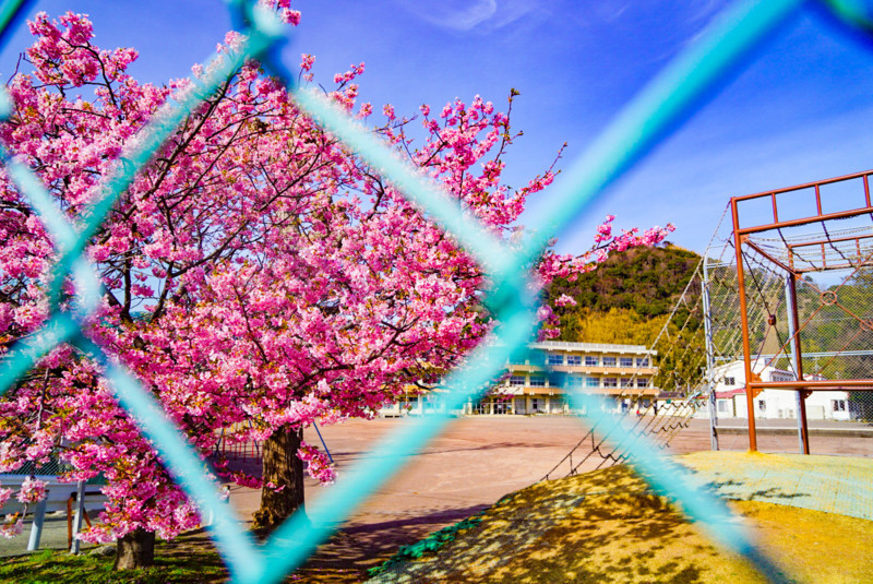 南小学校の桜と金網