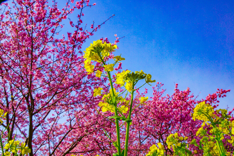 菜の花ロードの菜の花と桜