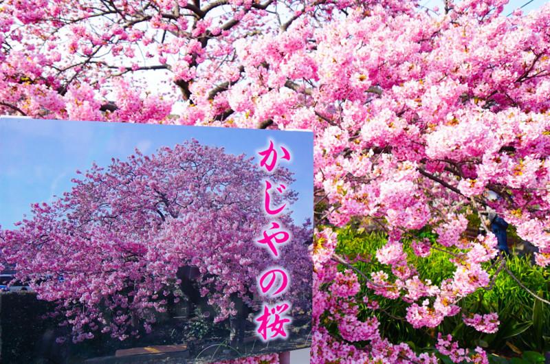 かじやの桜と看板