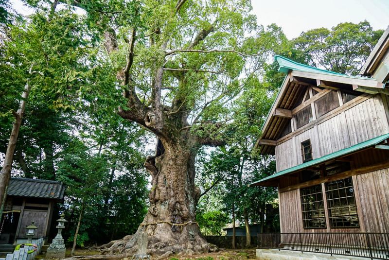 杉鉾別命神社(すぎほこわけのみことじんじゃ)の大クス