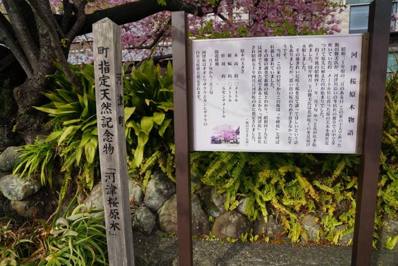 河津桜の原木の説明