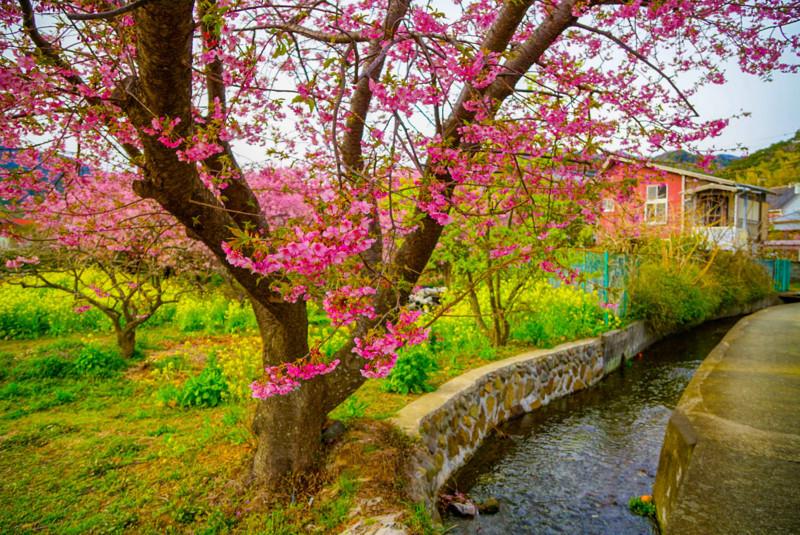 菜の花と桜の近くの小川