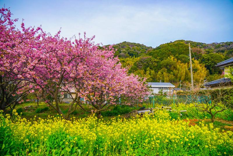 菜の花と河津桜と青空と民家