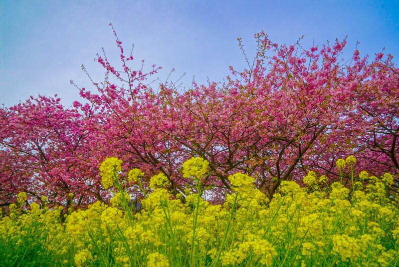 菜の花と河津桜と青空