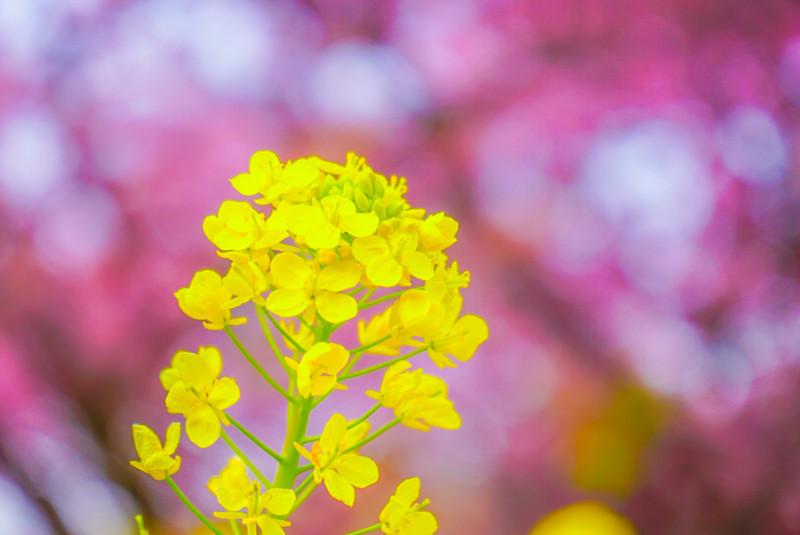 桜を背景にした菜の花